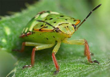 вредное насекомое