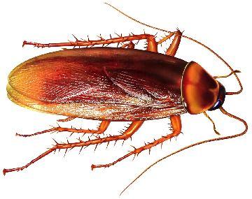 Фотография американского таракан