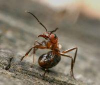 муравей лесной