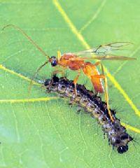 наездники насекомые