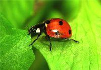 энтомофаги полезные насекомые