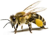 пчелы насекомые