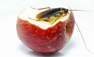 прусак на яблоке