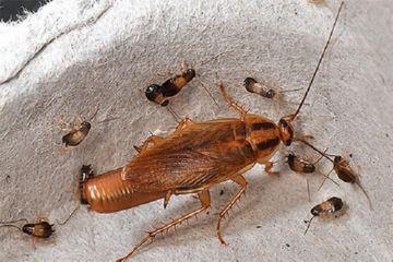 таракан с детьми