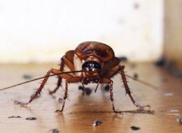 таракан: вид спереди