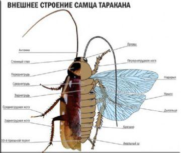строение рыжего таракана