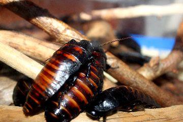 Красивые тропические тараканы