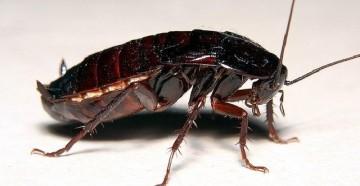 Продолжительность жизни тараканов