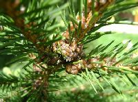 вредители хвойных деревьев