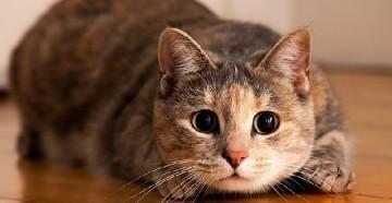 Заражение котов блохами