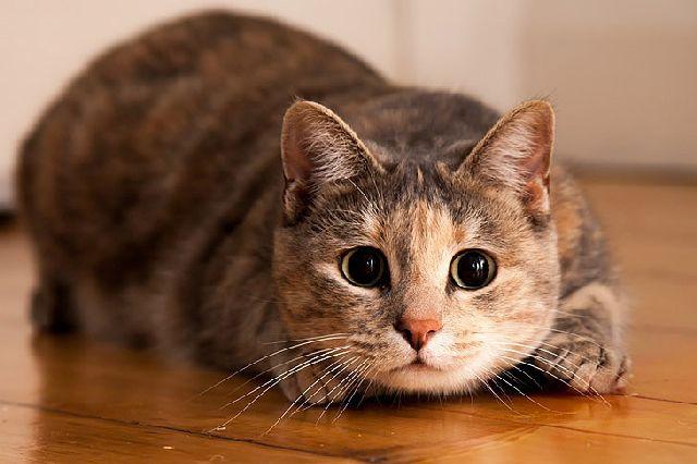 Кошачьи блохи как избавиться от паразитов без вреда дляживотного