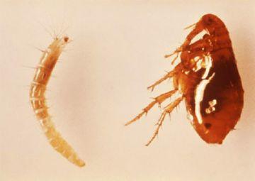 личинка и взрослое насекомое блохи