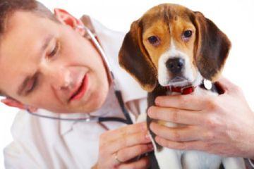 бруцеллез у собаки