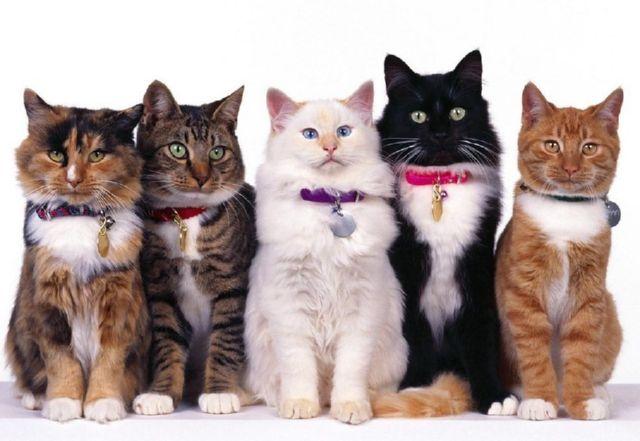 Сколько действует ошейник от блох для кошек
