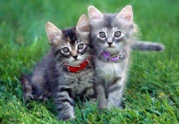 ошейник для котят