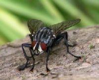 мухи насекомые