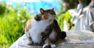 вши у кошки