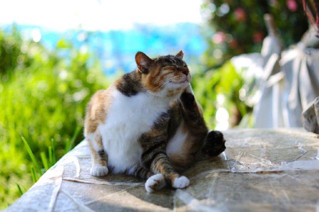 Вши у кошек: как их вывести и передаются ли они человеку?