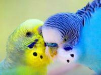 пухоеды у волнистых попугаев